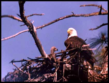 the reasons why the bald eagle has become an endangered species Why are bald eagles endangered a: how did the bald eagle become endangered so scientists are hopeful for the growth of the species the bald eagle is also protected under the bald and golden eagle act as well as the migratory bird treaty act.